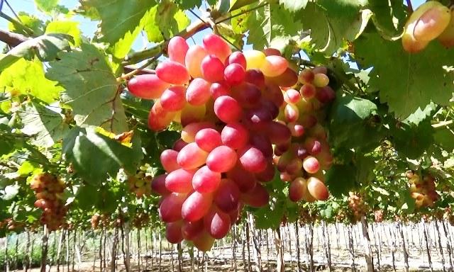 """Nho """"ba màu"""" Ninh Thuận giúp nông dân tăng thu nhập"""
