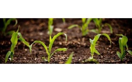 Phương pháp biến đổi gen mới giúp cây trồng mất nước ít hơn 25%