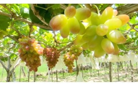 Nho NH01 – 152 – Cây trồng làm giàu của người trồng nho Ninh Thuận