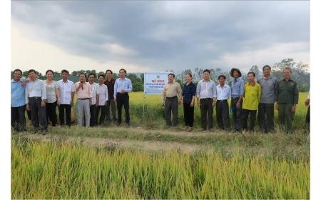 Giống lúa PY2 dần khẳng định vị thế tại vùng đất lúa huyện Tánh Linh