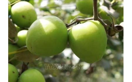 Ninh Thuận phát triển giống táo TN - 05 chất lượng cao