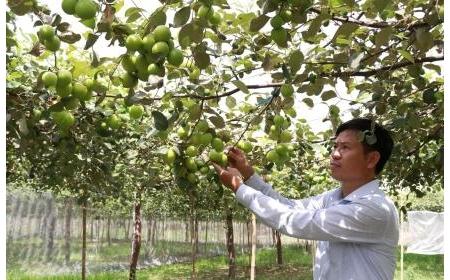 Ninh Thuận áp dụng biện pháp tăng sức cạnh tranh cho giống táo mới