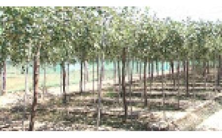 Hiệu quả bước đầu trồng thử nghiệm giống táo mới TN-05