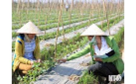 Viện Nghiên cứu Bông và Phát triển nông nghiệp Nha Hố: Điểm tựa của nông dân trong sản xuất nông nghiệp
