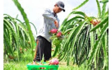 Giải pháp quản lý hiệu quả mã số vùng trồng