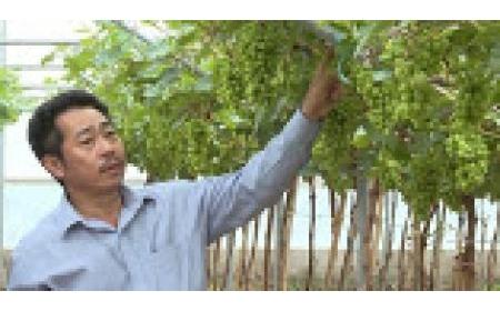 Nghiên cứu, sản xuất nho ứng dụng công nghệ cao tại Ninh Thuận
